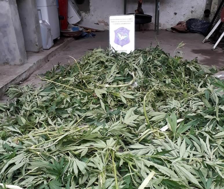 En  la tarde del miércoles 9 de enero se llevaron a cabo diversos allanamientos en investigaciones por comercio de estupefacientes  en las ciudades de  Pergamino y Colón, que derivaron en el secuestro de una importante cantidad de marihuana y en la aprehensión de dos personas de 24 y 22 años de edad.