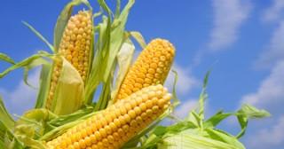 Ante el arranque de un nuevo ciclo de maíz, Stoller recomienda dos productos para obtener una mejor nutrición